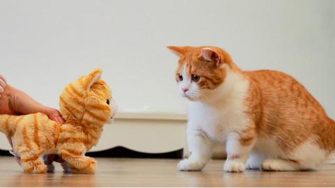 铲屎官买只小猫回家,大猫看到是橘色的,瞬间惊恐!