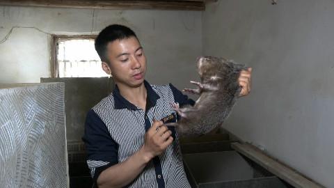 华农兄弟:这只竹鼠打架受重伤,没办法,小伙只好把它烤了