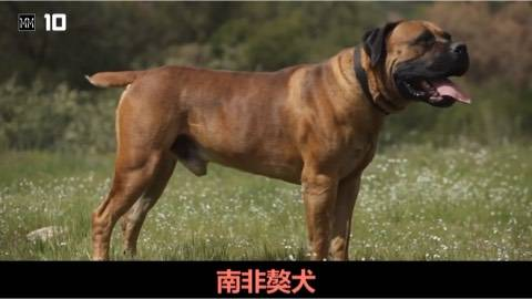 世界十大战斗力最强的狗狗