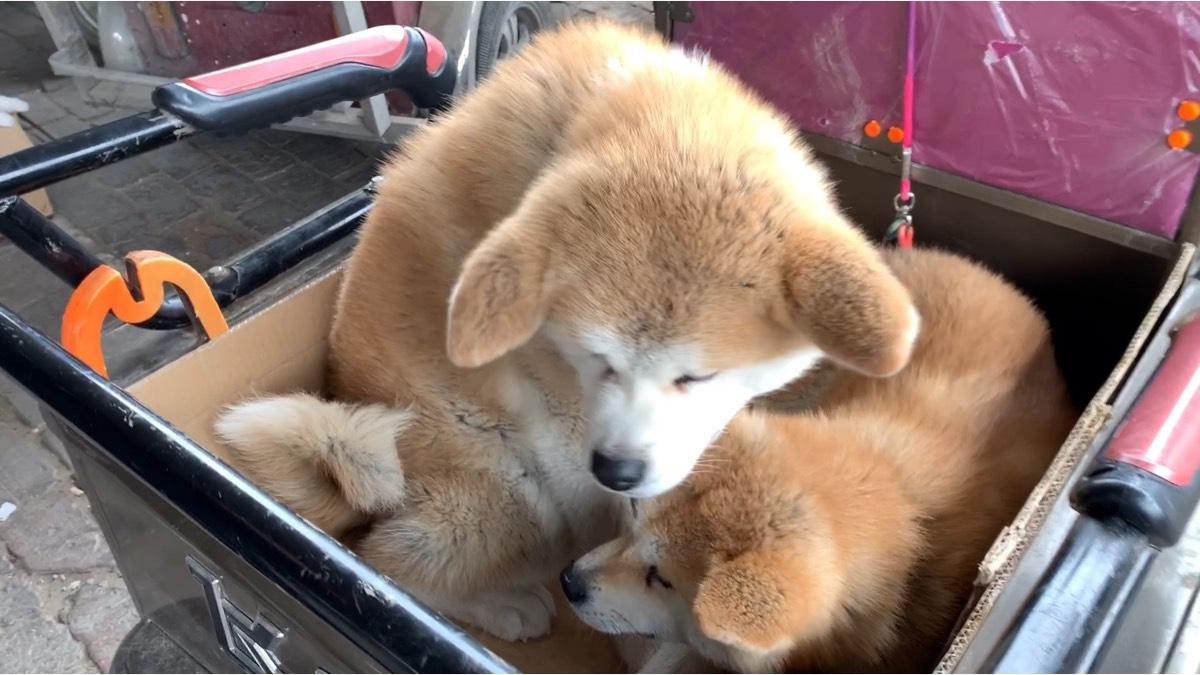 狗市碰到一只秋田犬,大家还记得《忠犬八公》吗?