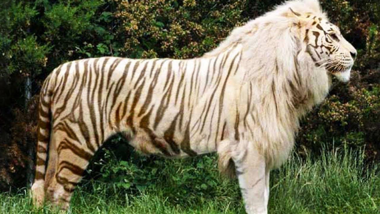 各种动物杂交的结果,10大惊人的杂交动物!