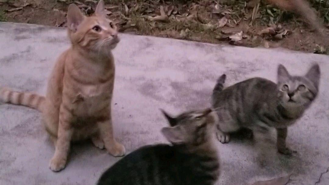 没有逗猫棒如何逗野猫!