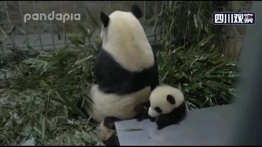 熊猫宝宝被压出狗叫