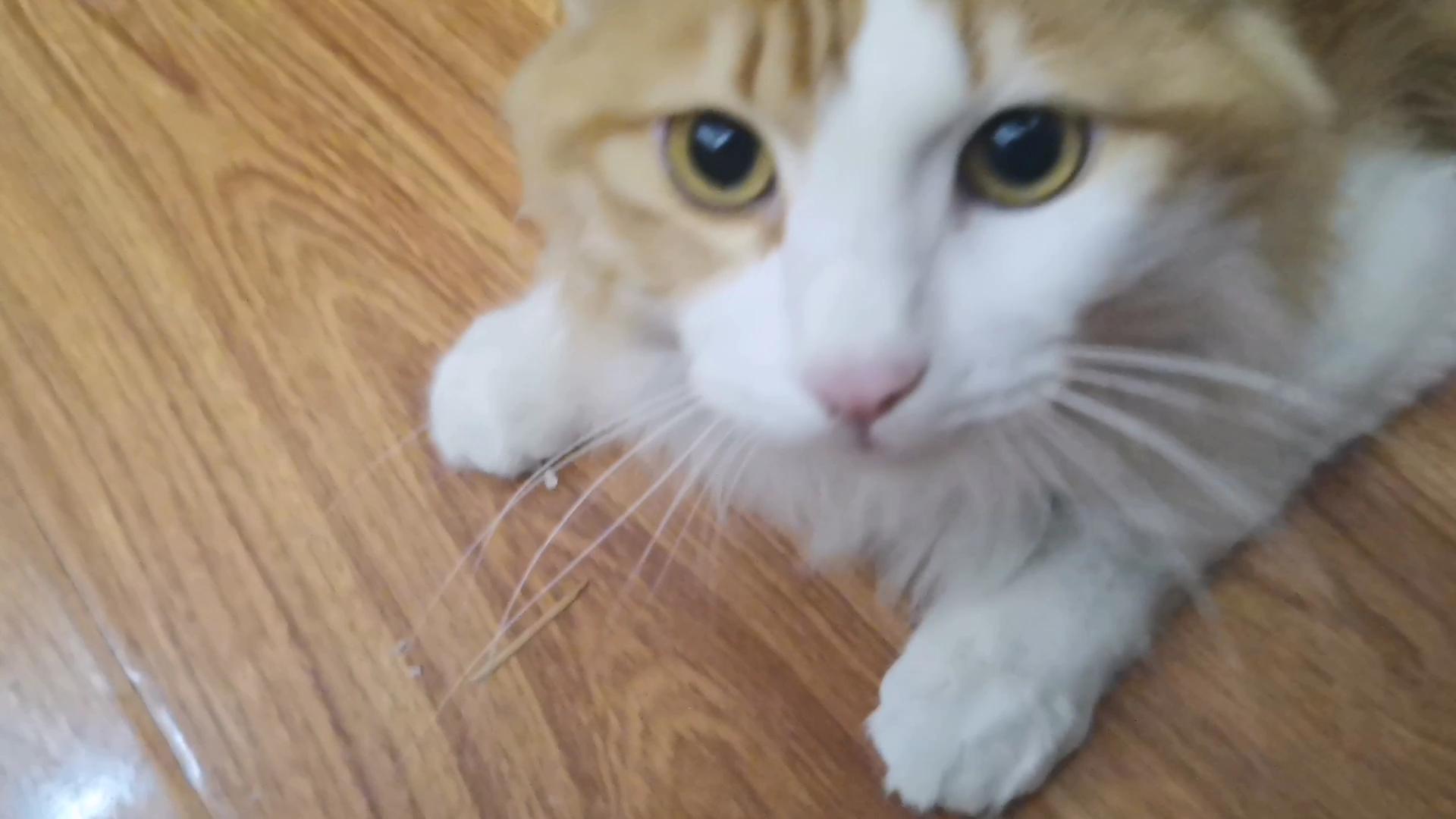 【烧麦】一拍屁股就咩咩咩叫的猫猫