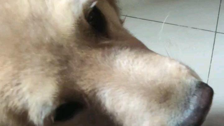 金毛大舔狗