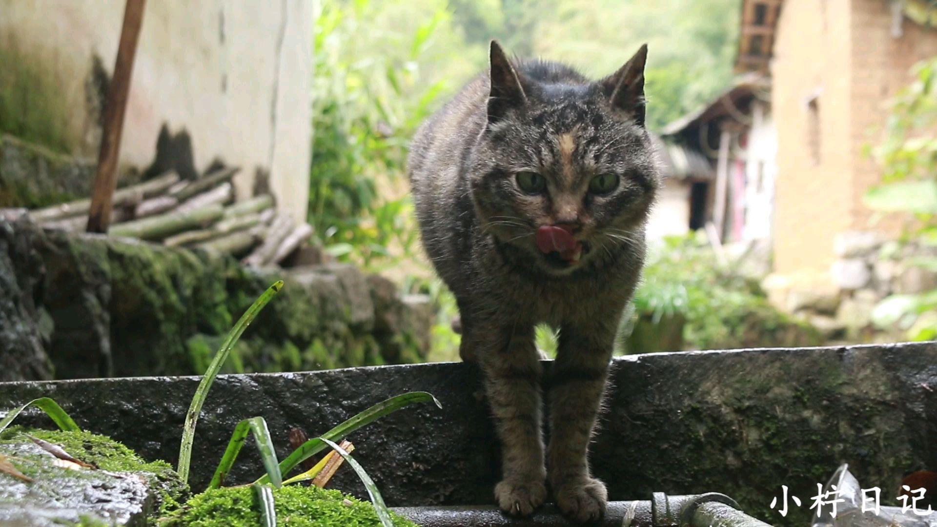 农村养9年狸花猫,既抓老鼠又抓鸟,山里是它最喜欢的地方