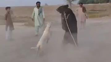 用黑熊训练猎犬的胆量