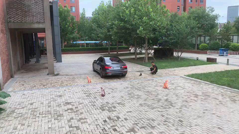中国狸花猫奥迪广告拍摄现场,为中国猫加油!