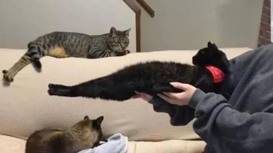 当一根猫不想让你抱的时候,它可以变成任何形状