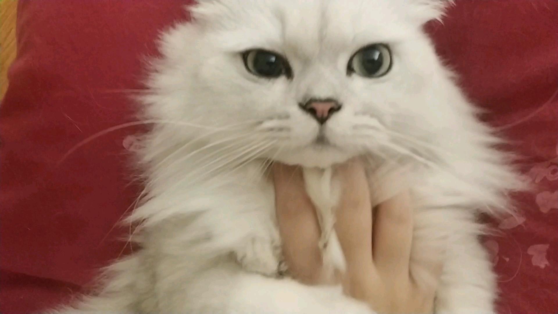 【米糊与烧麦】在家里饱受欺凌的两只可怜猫猫