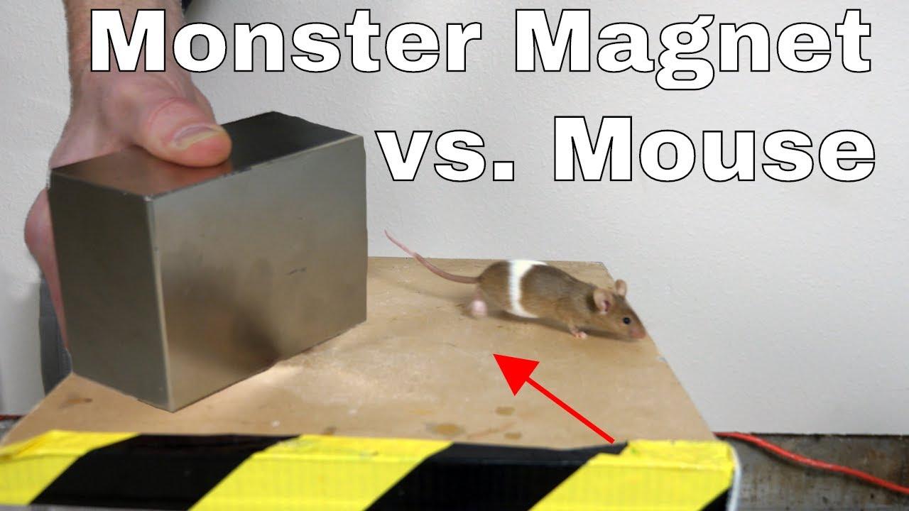 把世界上磁性最强的钕磁铁放在老鼠旁边,会发生什么?