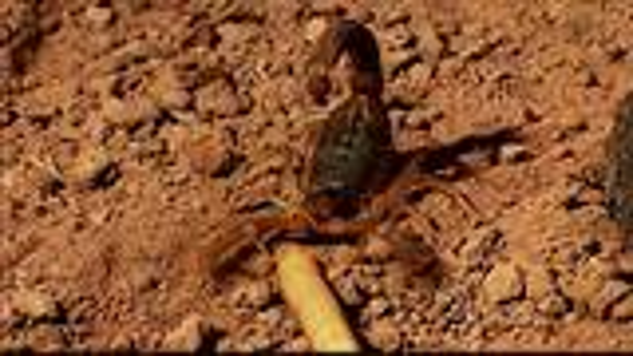 混身 高精尖 探测装置的沙漠小蝎捕猎很少失手!即稳又准更狠!