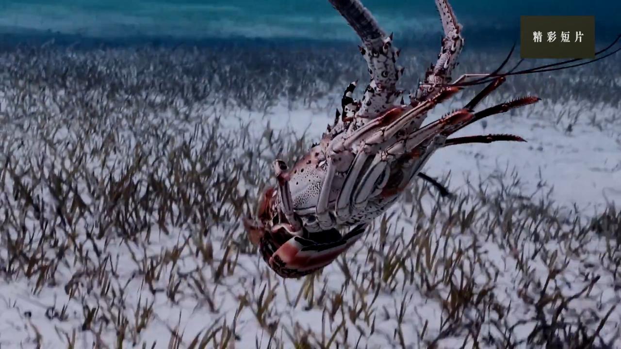 放弃不适宜捕捞是硬道理!岩龙虾休养生息很重要!