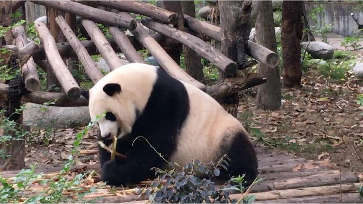 大熊猫吃竹笋,吃没了,还到处找