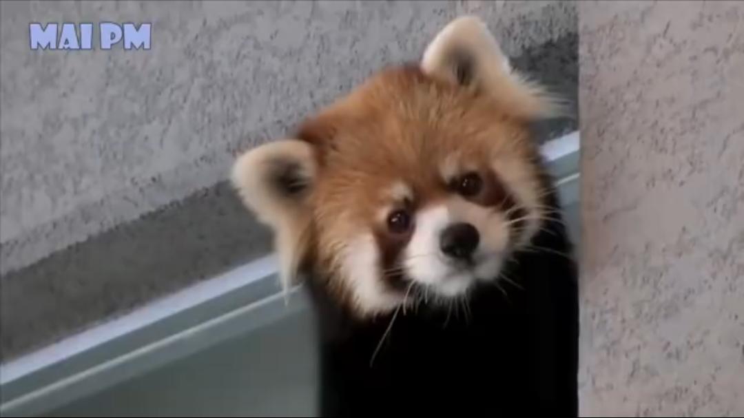 超可爱的小熊猫合集