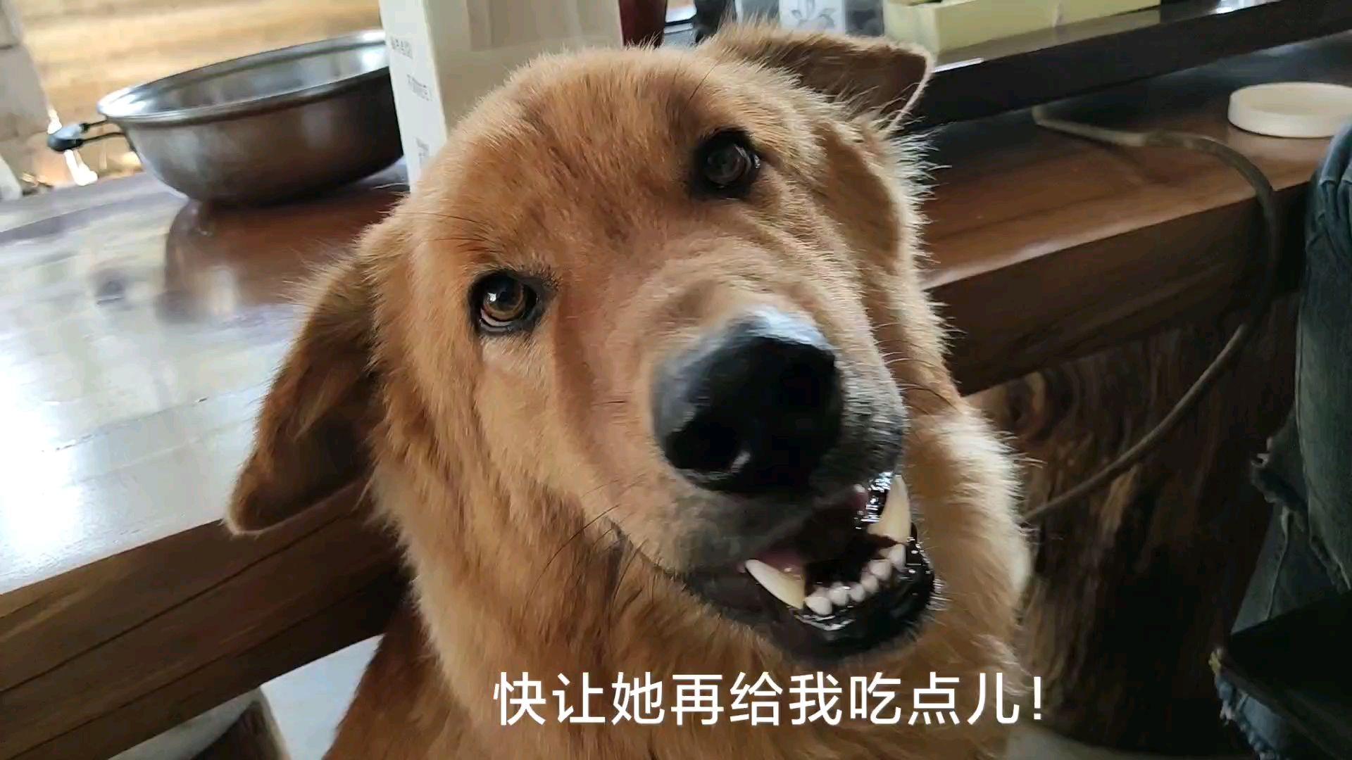 【中华田园猪】给狗子急的都快说话了