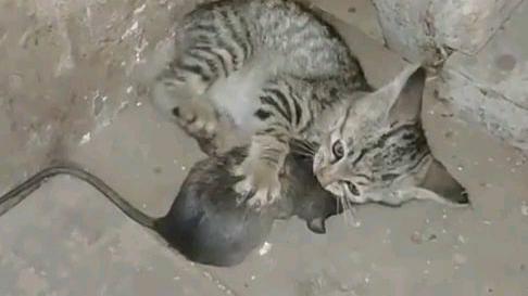 当老鼠遇见猫只有被揍的份