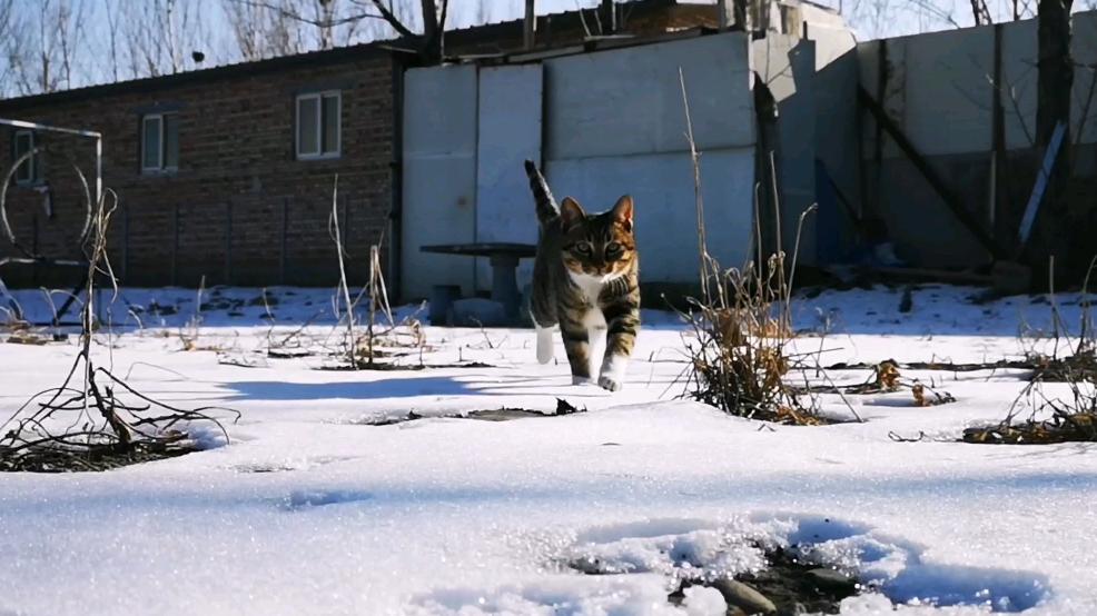 一个老虎猫向你走来,让你心灵融化了。