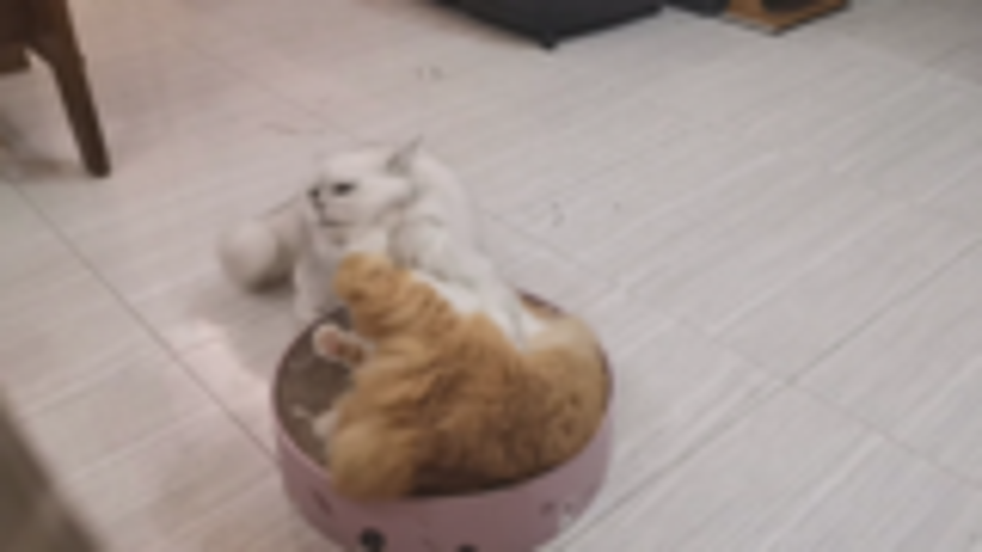 【米糊与烧麦】猫窝争夺战