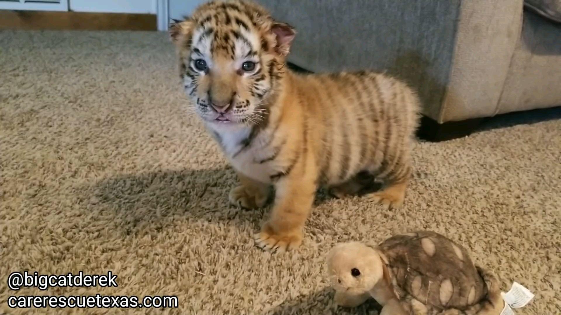 有一只老虎当宠物是什么体验?