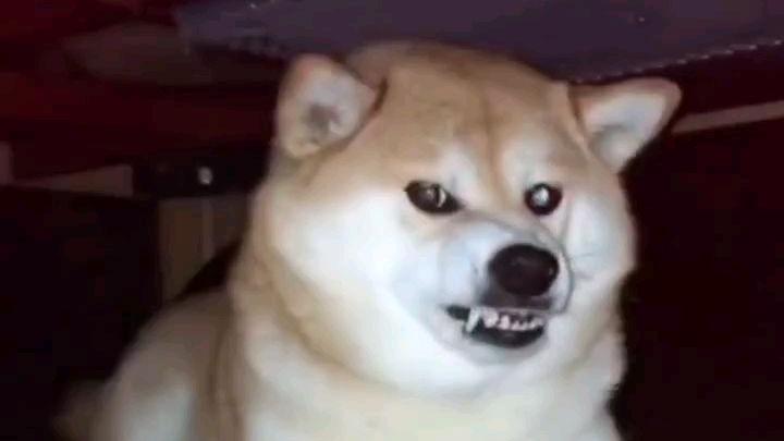 用最凶狠的表情,做最听话的狗狗
