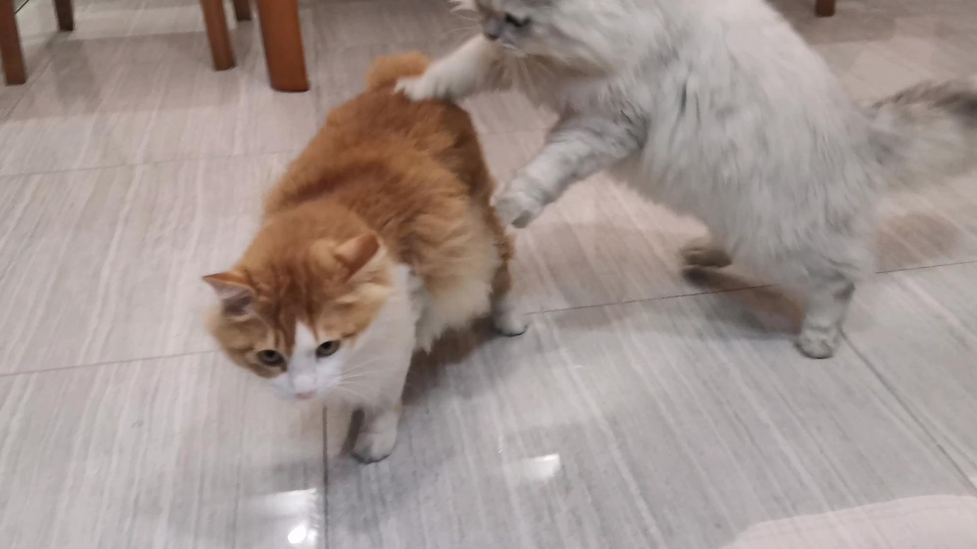 【米糊与烧麦】隔着玻璃讨要奶茶喝的猫猫打了起来