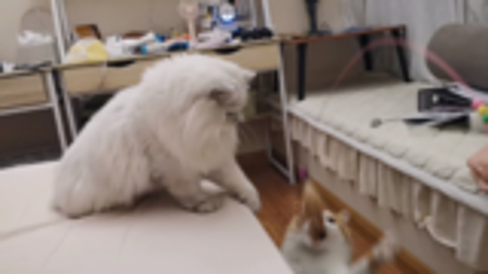 【米糊与烧麦】躺着钓猫