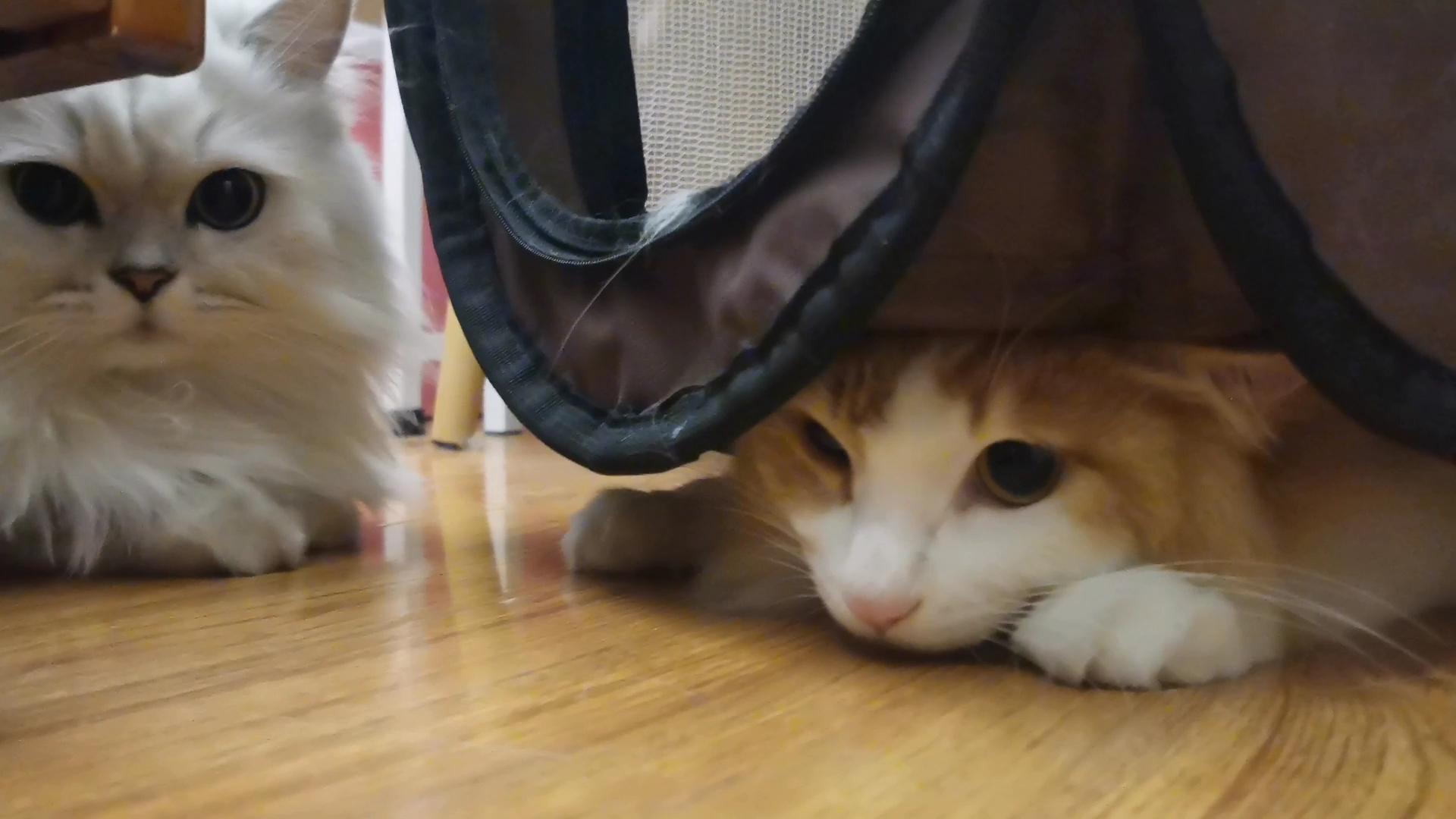 【米糊与烧麦】这个笼子猫猫能玩好久