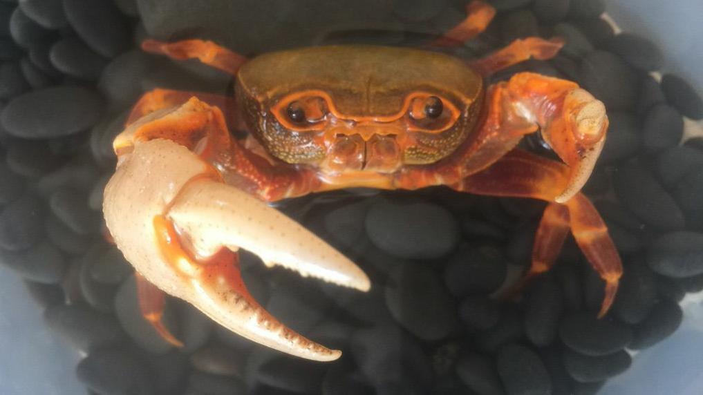 珠海溪蟹捕食