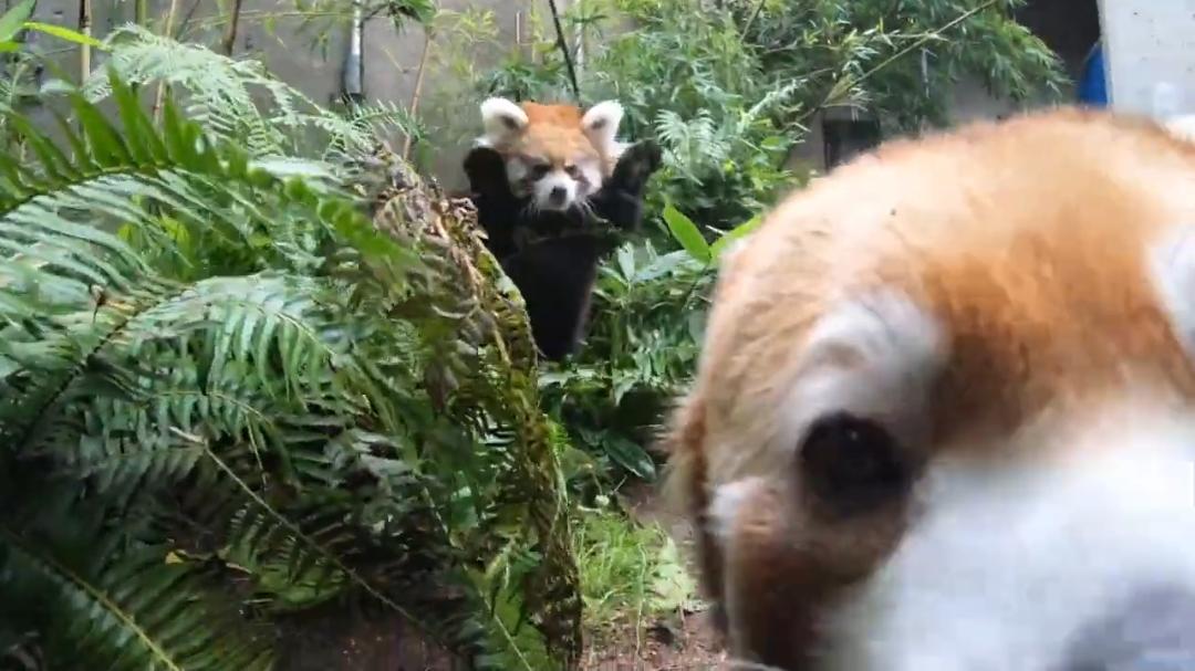 最擅长跑酷的小熊猫 另一只:我TM都烦死了!