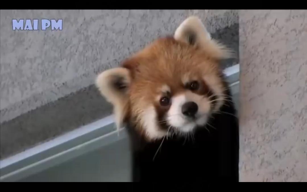 小熊猫是集小浣熊和大熊猫可爱为一体的生物