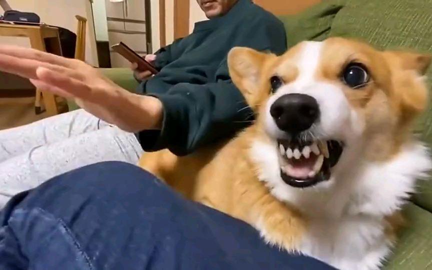 狗子:摸我可以,摸我女主人不行!