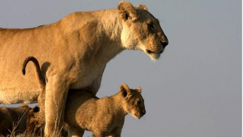 纪录片非洲雄狮