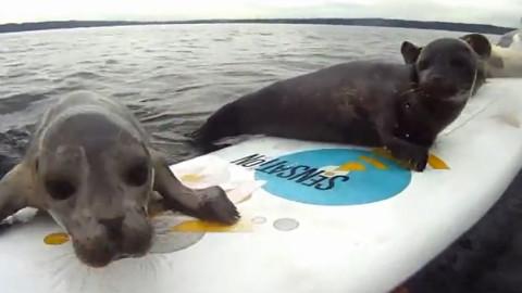 【搬运系列】最努力的海豹,一步一步攀上冲浪板