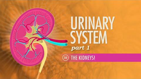 【10分钟速成课:解剖与生理】第38集 - 泌尿系统 part 1 肾!
