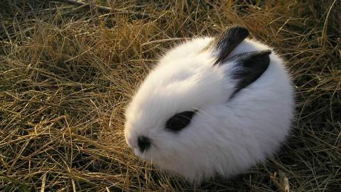 一只会叫春的兔子