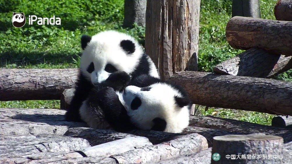 熊猫宝宝是如何进行感情交流的