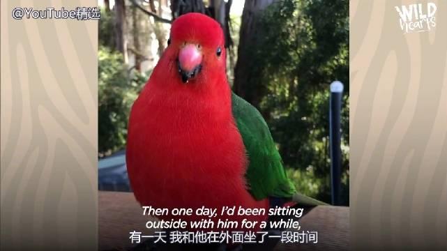 澳洲一位网友自结实了一位鹦鹉之后...