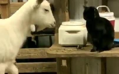 来探望怀孕的山羊的黑猫和表达谢意的山羊