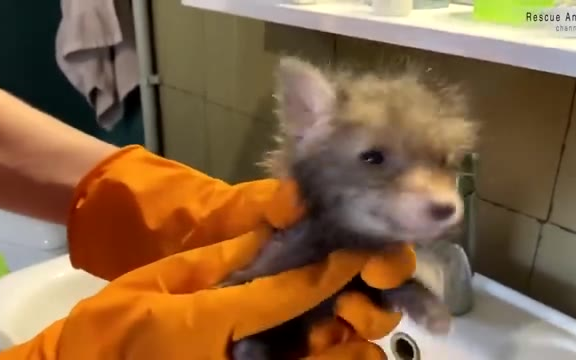 一只被人类救助的小狐狸孤儿30天前后的生活记录!简直太治愈了!