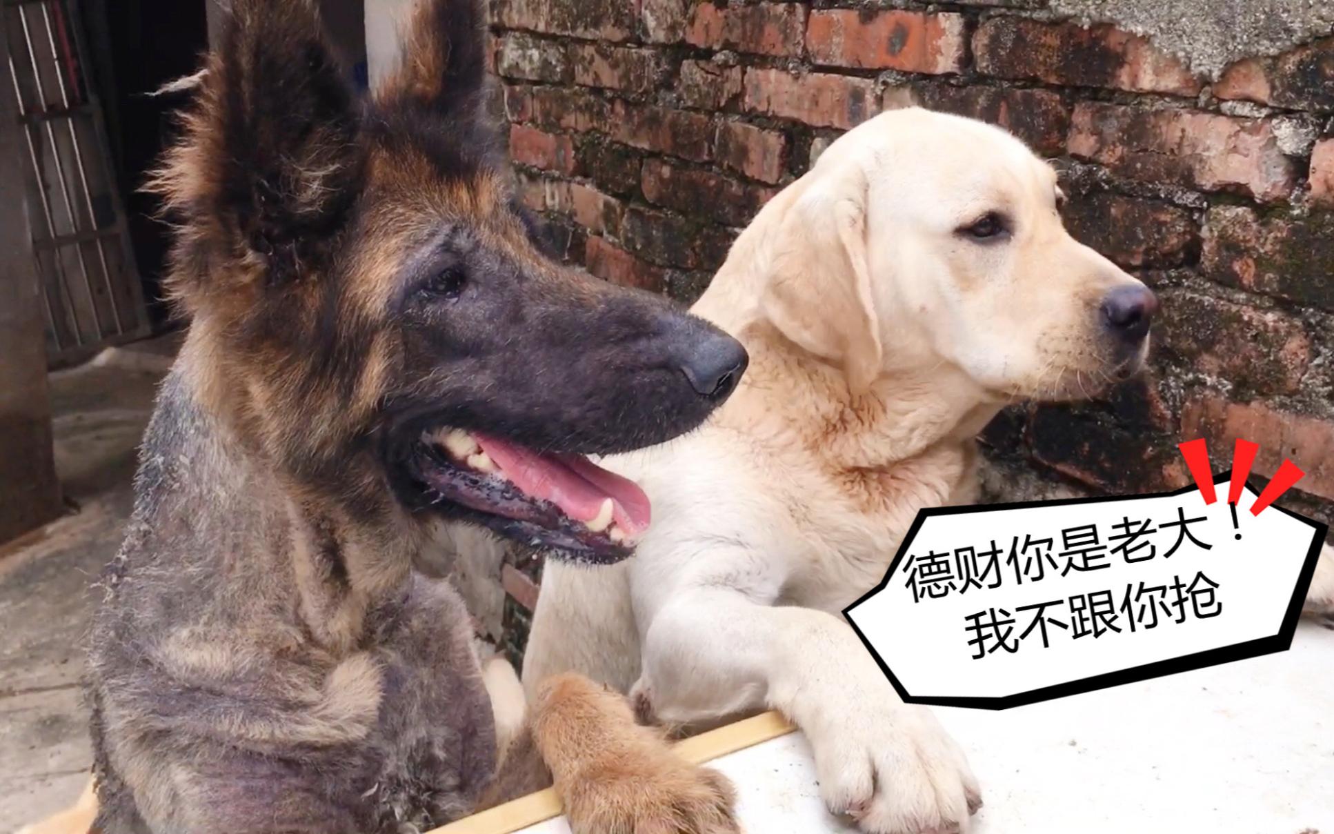 德牧天生很强势?德财在救助站抢东西吃,狗子们都怕了它!