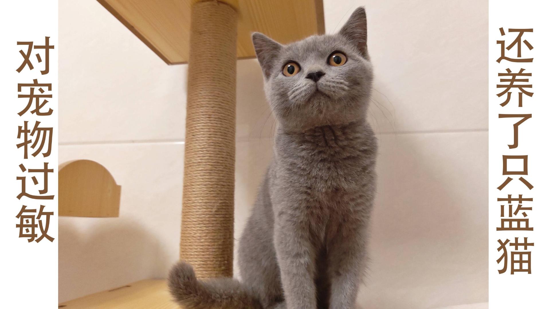 【欢迎新成员】对宠物过敏的我竟然养了一只蓝猫?