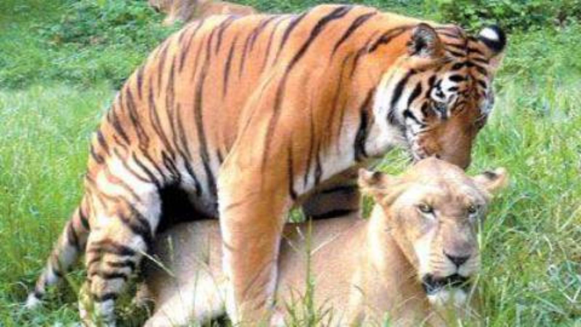 【老视频】狮子vs老虎,世纪悬案终有定论