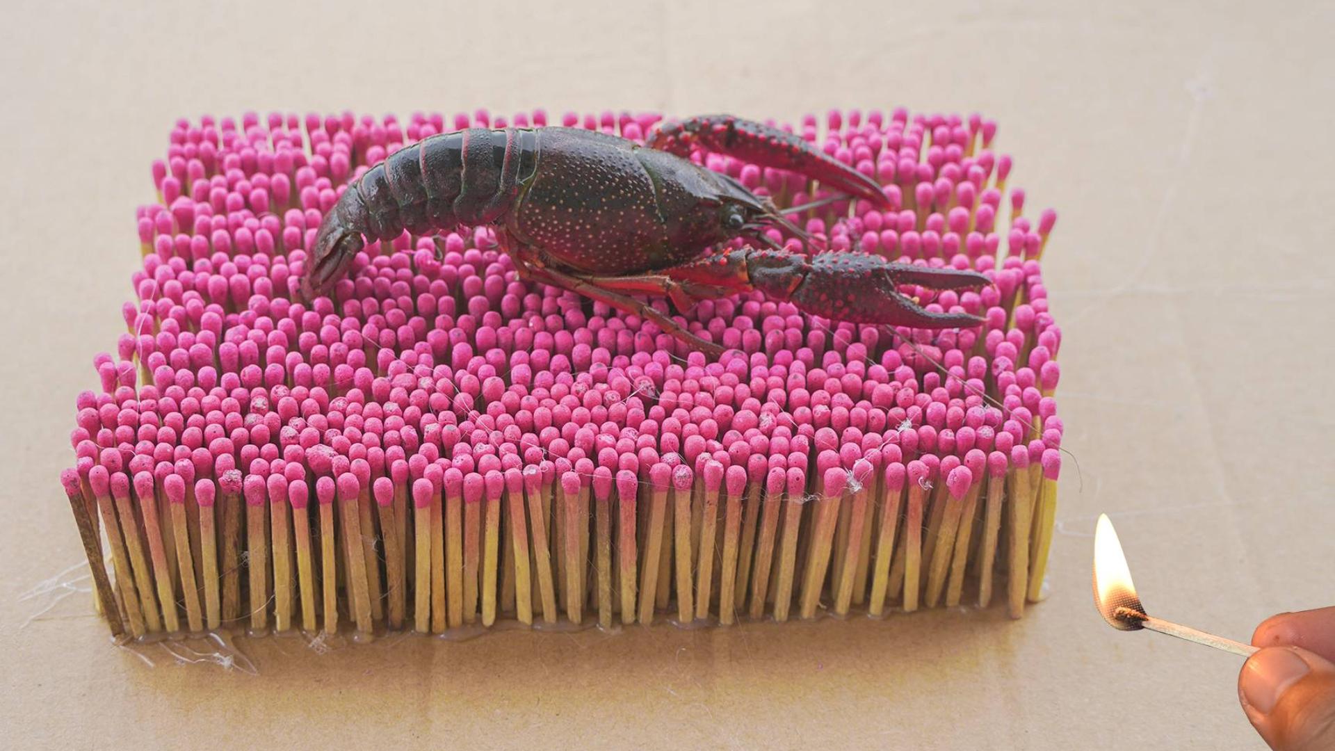 """将""""小龙虾""""放在1500根火柴上,能将小龙虾烤熟么?"""