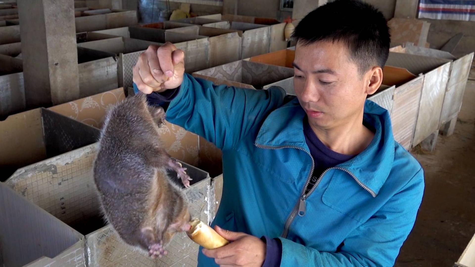 """华农兄弟:昨晚有只竹鼠""""托梦""""给我,想吃竹笋,去挖个来炖它"""