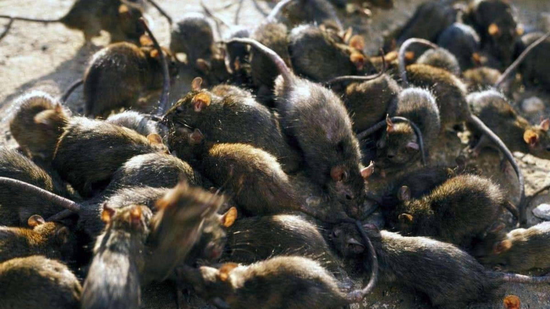 明朝末年那场鼠疫毁了大明!仅是死亡人数就高达20万
