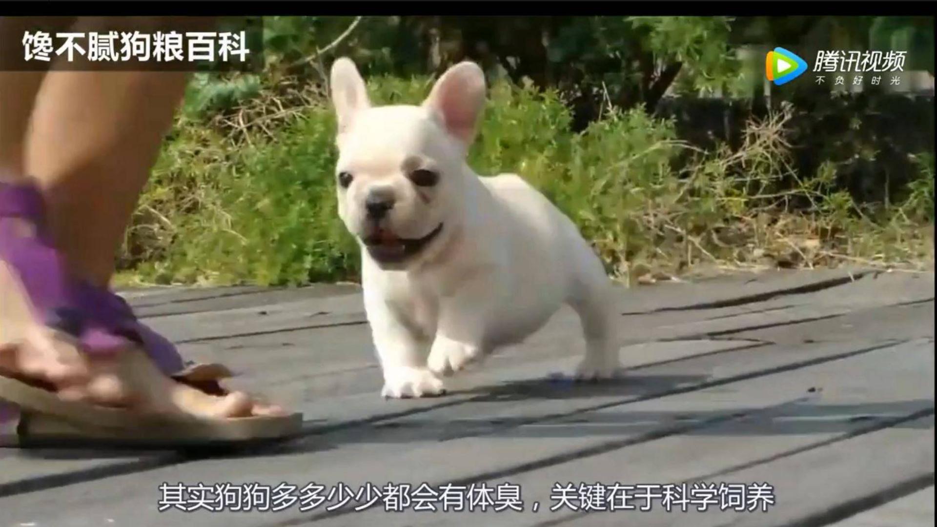 【法国斗牛犬】三分钟了解,如何解决法斗犬体臭问题!