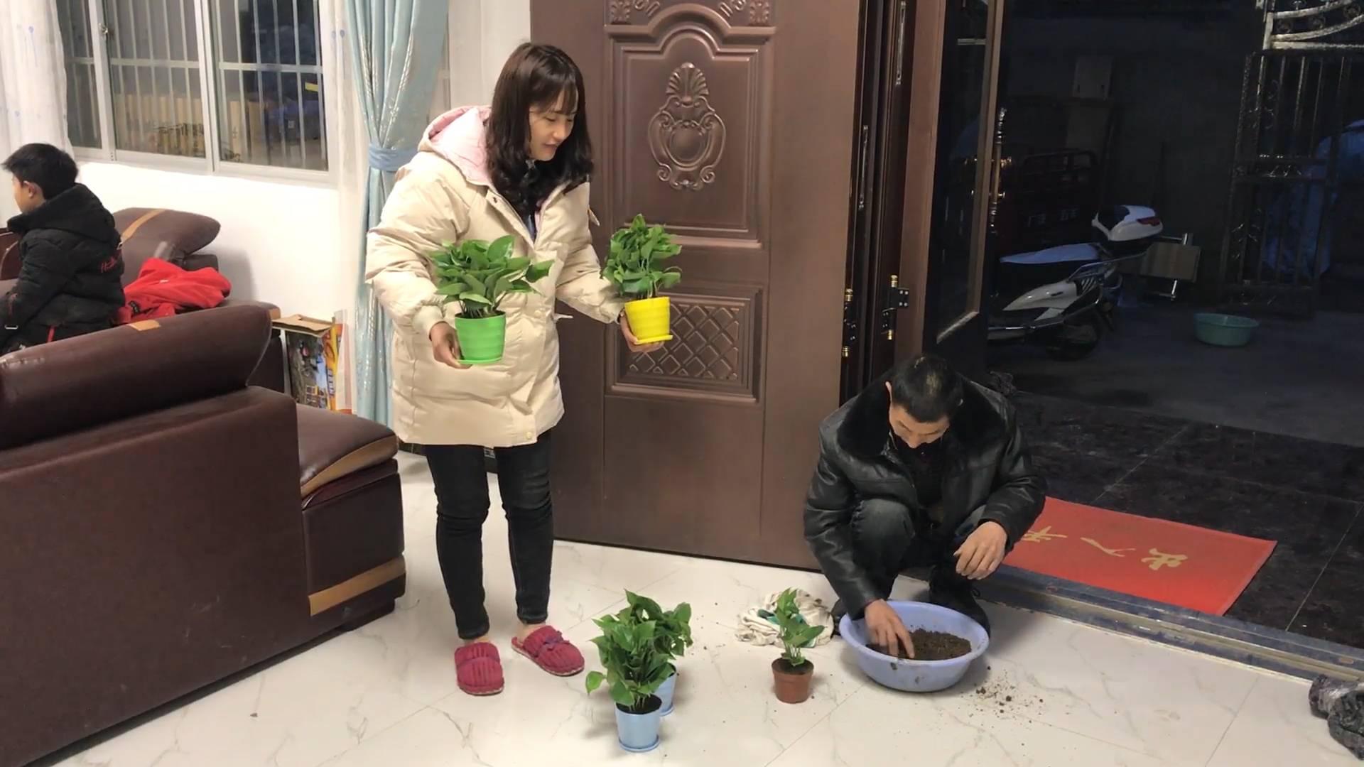 农村公爹网购绿萝,回家把它栽到花盆里,栽好媳妇把它放谁房间了