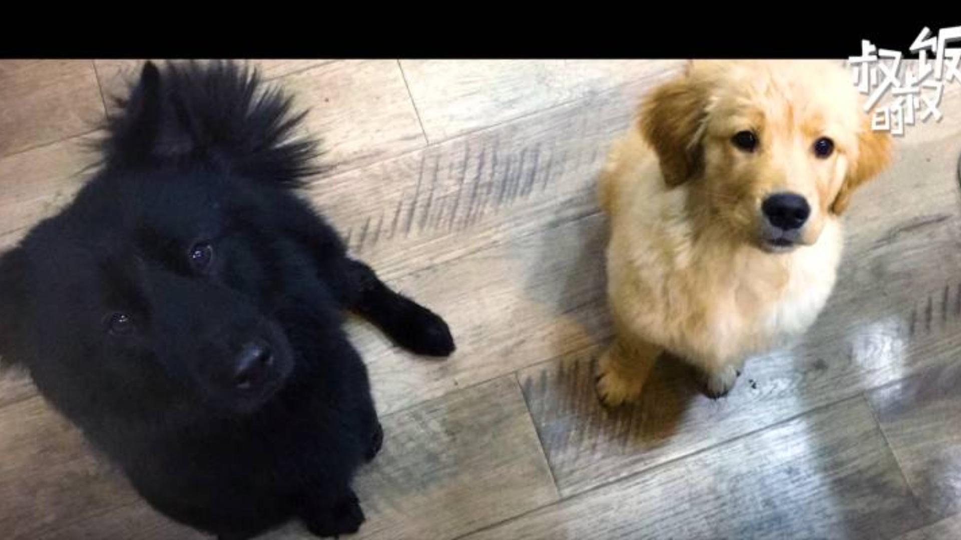 金毛被送去寄养了2年,这一天,主人终于来接它回去--送给所有的爱狗人士