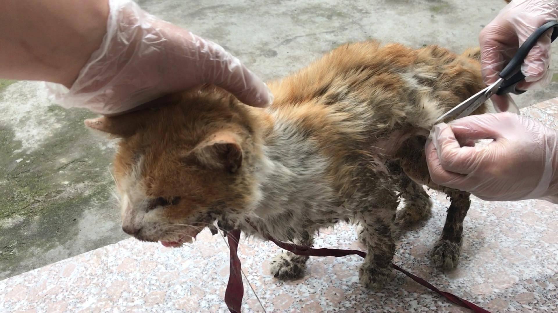 流浪猫:给猫咪剪掉打结的毛,再次给它清理伤口